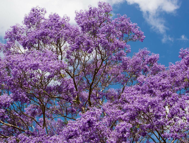 Jacaranda sydney new south wales australia
